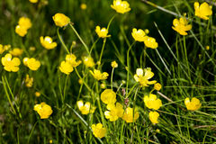 Buttercup Background Stock Photo