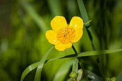Buttercup Stock Photos