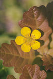 Buttercup - brown leaves Stock Photo