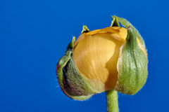 Buttercup bud in the studio on Royalty Free Stock Photo
