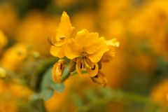 Buttercup bush Senna corymbosa Stock Photography