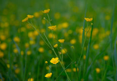 Buttercup Stock Photography