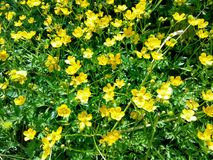 Buttercup caustic blooming in the June rays of the sun. stock photo