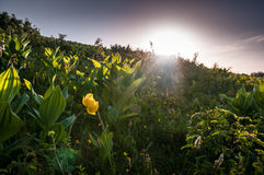 Buttercup at dusk. A field with a buttercup with the flare of the sun at dusk Royalty Free Stock Images