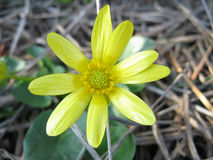 Buttercup Ficaria Royalty Free Stock Photos