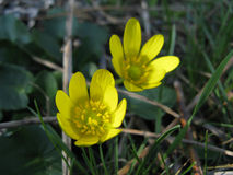 Buttercup Ficaria Stock Images