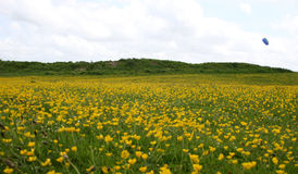 Buttercup field Stock Image