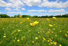 Buttercup with field Stock Photography