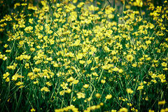Buttercup field Stock Photography