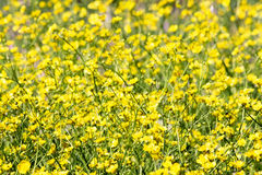 Buttercup field Royalty Free Stock Photography