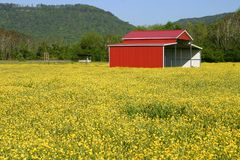 Buttercup Field Stock Photo