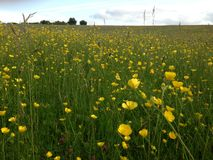 Buttercup Field. In the rolling hills outside the historic town of Bishops Castle, Shropshire Royalty Free Stock Images