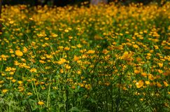 Buttercup meadow stock image