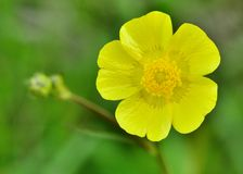 Buttercup Flower Royalty Free Stock Photography