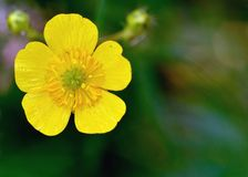 Buttercup Flower Stock Photo