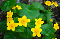 Buttercup flower. Yellow-cup or known as buttercup (Ranunculus) flower Stock Images