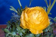 Buttercup flower Stock Photo