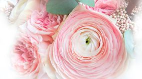 Buttercup flower close-up gently pink color. stock images