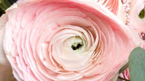Buttercup flower close-up gently pink color. stock photos