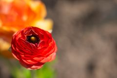 Buttercup flower close-up red color. royalty free stock image