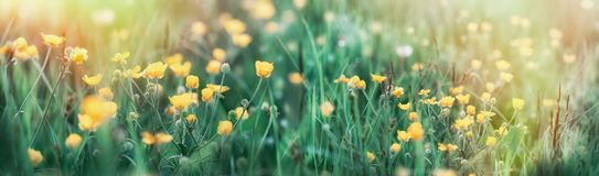 Buttercup flower in grass - beautiful spring flower. In meadow beautiful nature Royalty Free Stock Image