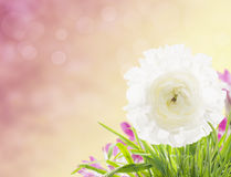 Buttercup flower on pink background with bokeh Royalty Free Stock Photos