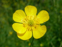 Buttercup flower Stock Photos