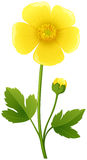Buttercup flower in yellow color Royalty Free Stock Photography