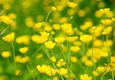 Buttercup flowers Stock Photo
