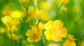 Buttercup flowers Stock Photos