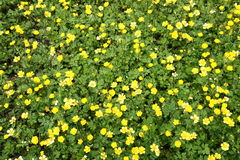 Buttercup flowers Stock Image