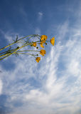 Buttercup flowers in blue sky Royalty Free Stock Photos