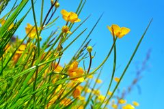 Buttercup flowers on a field Royalty Free Stock Images