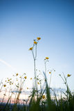 Buttercup flowers on field in sunset sky Royalty Free Stock Image