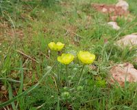 Yellow Buttercup flowers on the background of green grass and stones. Buttercup flowers. The first yellow flowers in March on rocky soil. Sunny spring day stock images