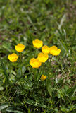 Buttercup flowers. In the grass. (Ranunculus Royalty Free Stock Photo