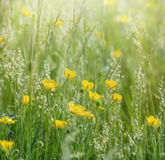 Buttercup flowers in spring Stock Photo