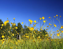 Buttercup flowers in summer meadow Stock Images