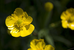 Buttercup in the garden Royalty Free Stock Image