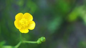 Buttercup on green stock video