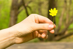 Buttercup in a hand Stock Images