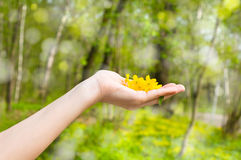 Buttercup in a hand Stock Photography