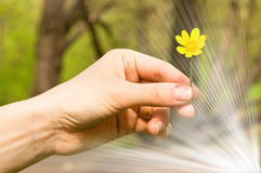 Buttercup in a hand Royalty Free Stock Photography