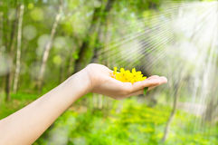 Buttercup in a hand Royalty Free Stock Images