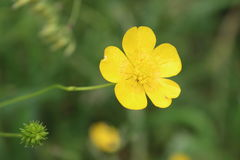 Buttercup. A little yellow buttercup poking out Royalty Free Stock Photo
