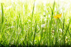 Buttercup in long grass. One buttercup in the long grass in bright sunshine Royalty Free Stock Photography