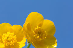 Buttercup 4 Stock Photography