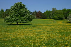 Buttercup Meadow. An English meadow at Hughenden Park Buckinghamshire full of springtime buttercups Royalty Free Stock Photography