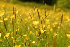 Buttercup Meadow Royalty Free Stock Photography