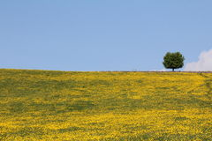 Buttercup Meadow. Flowering buttercup Meadow and tree on the skyline Stock Images
